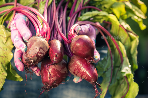 Woman gardener hand holding fresh beetroots - Stock Photo - Images