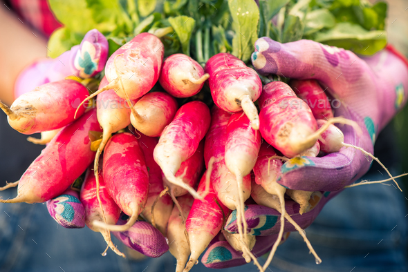 Close up on freshly picked radish,toned image - Stock Photo - Images