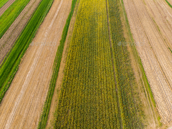 Blooming narcissus and farmlands, aerial view - Stock Photo - Images