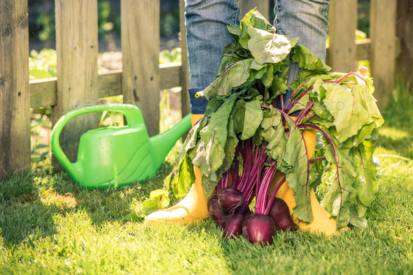 Working in vegetables garden in sunny day - Stock Photo - Images