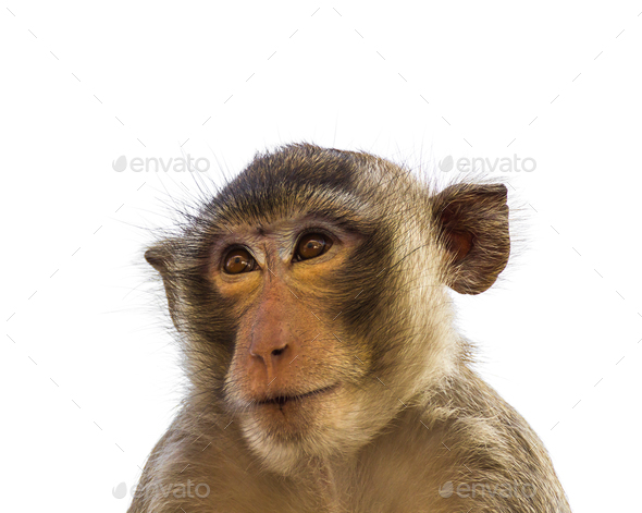 Macaque monkey isolated on white_-3 - Stock Photo - Images