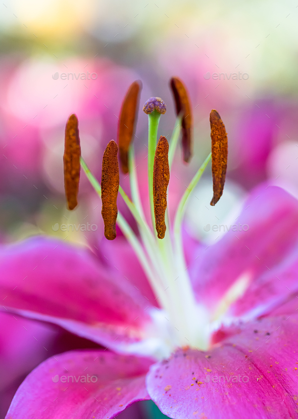 Pink lily flower in garden-2 - Stock Photo - Images