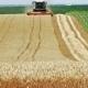 Combine Harvester Cuts Ripe Wheat in the Field