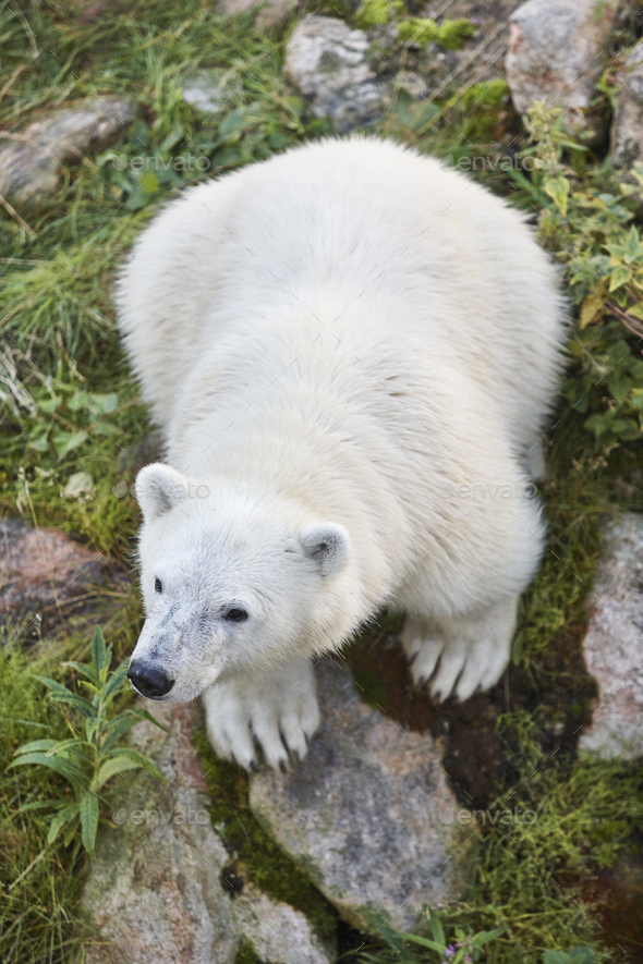 Polar bear cub in the wilderness. Wildlife animal background. Vertical - Stock Photo - Images