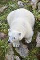 Polar bear cub in the wilderness. Wildlife animal background. Vertical - PhotoDune Item for Sale
