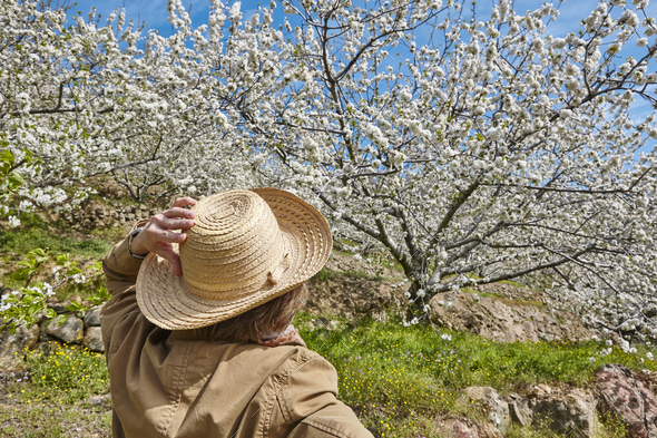 Woman looking up cherry blossom in Jerte Valley, Caceres. Spain. Season - Stock Photo - Images