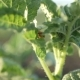 Colorado Potato Beetle Larvae Eat Green Leaves - VideoHive Item for Sale