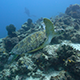 Green Sea Turtle Swimming  - VideoHive Item for Sale