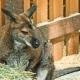 Kangaroo in Sanctuary Enclosure - VideoHive Item for Sale