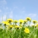 Yellow Dandelions Field - VideoHive Item for Sale