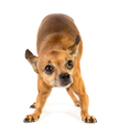 Little dog - PhotoDune Item for Sale