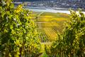 Vineyard - PhotoDune Item for Sale