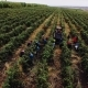 People Working Manually in the Middle of Vineyard Collecting Grapes - VideoHive Item for Sale