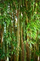 Bamboo - PhotoDune Item for Sale