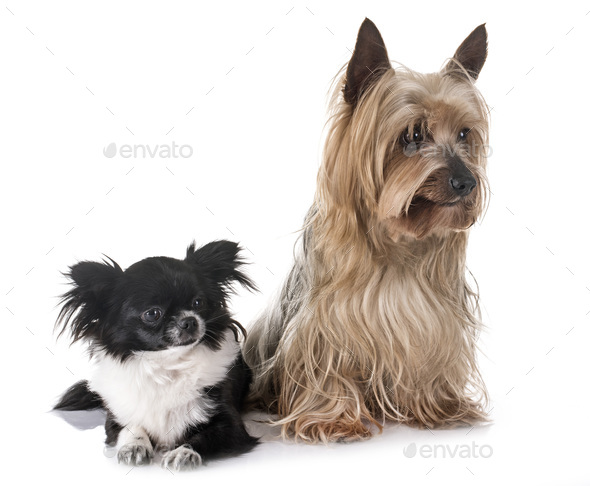young chihuahua and yorkshire terrier - Stock Photo - Images