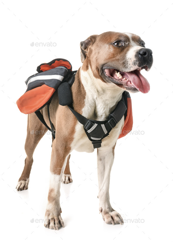 american staffordshire terrier and bag - Stock Photo - Images