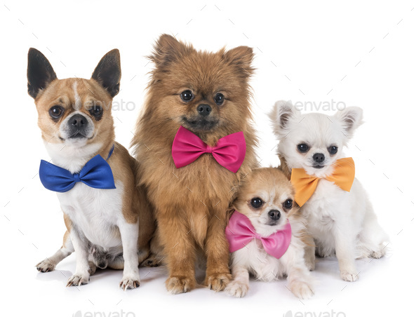 group of little dogs - Stock Photo - Images