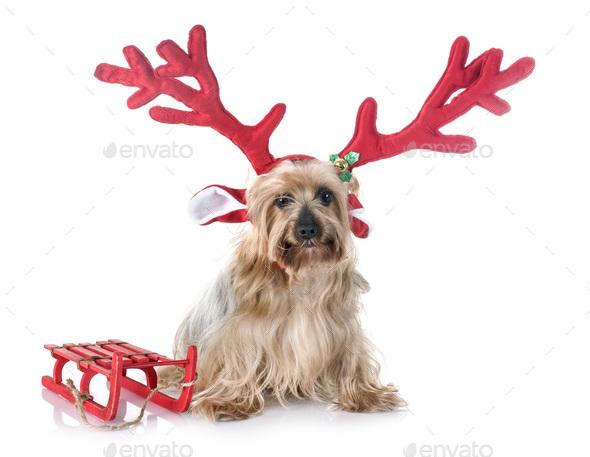 yorkshire terrier in studio - Stock Photo - Images