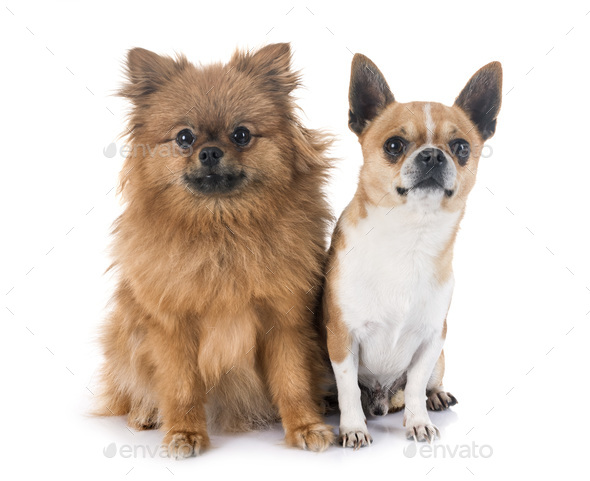 chihuahua and pitz in studio - Stock Photo - Images