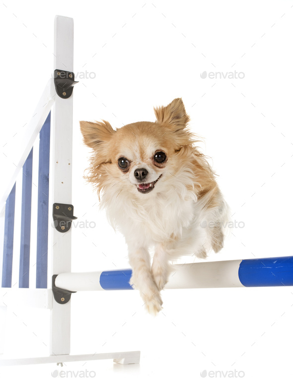 chihuahua in agility - Stock Photo - Images