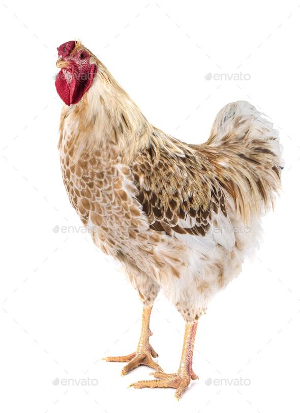 Wyandotte chicken in studio - Stock Photo - Images