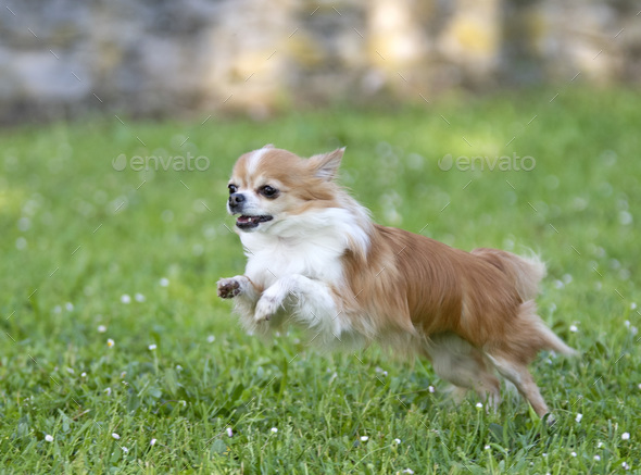 chihuahua in nature - Stock Photo - Images