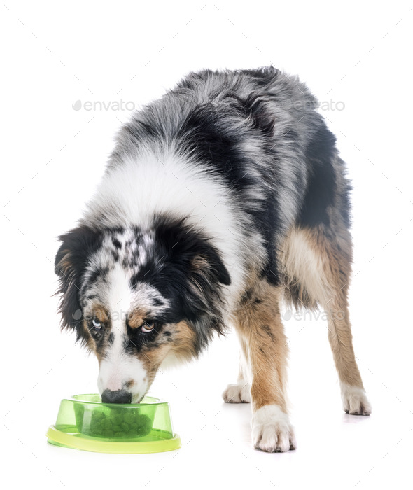 australian shepherd eating - Stock Photo - Images