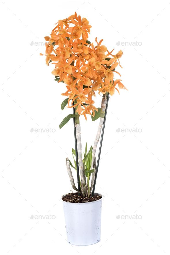 orange Dendrobium in studio - Stock Photo - Images