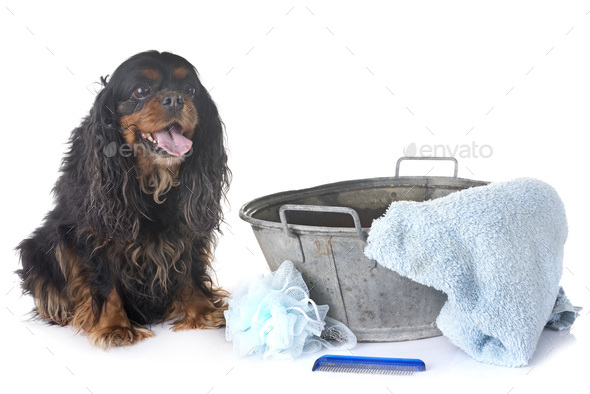 cavalier king charles and towel - Stock Photo - Images