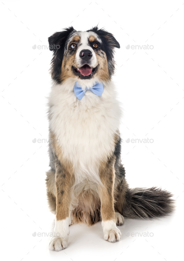 australian shepherd in studio - Stock Photo - Images