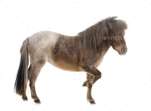 Falabella miniature horse - Stock Photo - Images