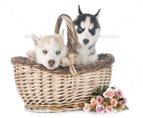 puppies siberian husky - Stock Photo - Images