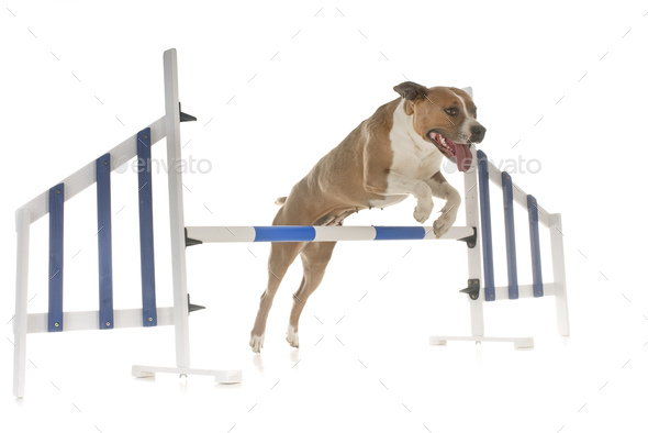 jumping american staffordshire terrier - Stock Photo - Images