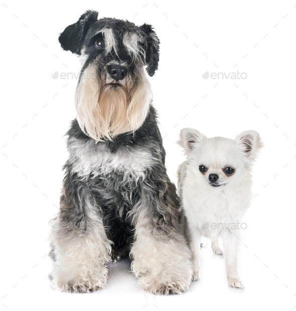 miniature schnauzer and chihuahua - Stock Photo - Images