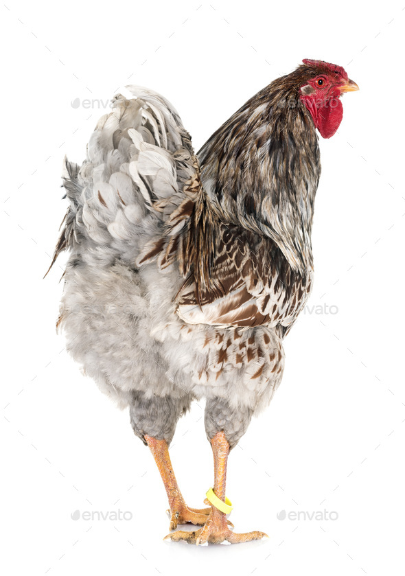 blue-laced Wyandotte chicken in studio - Stock Photo - Images