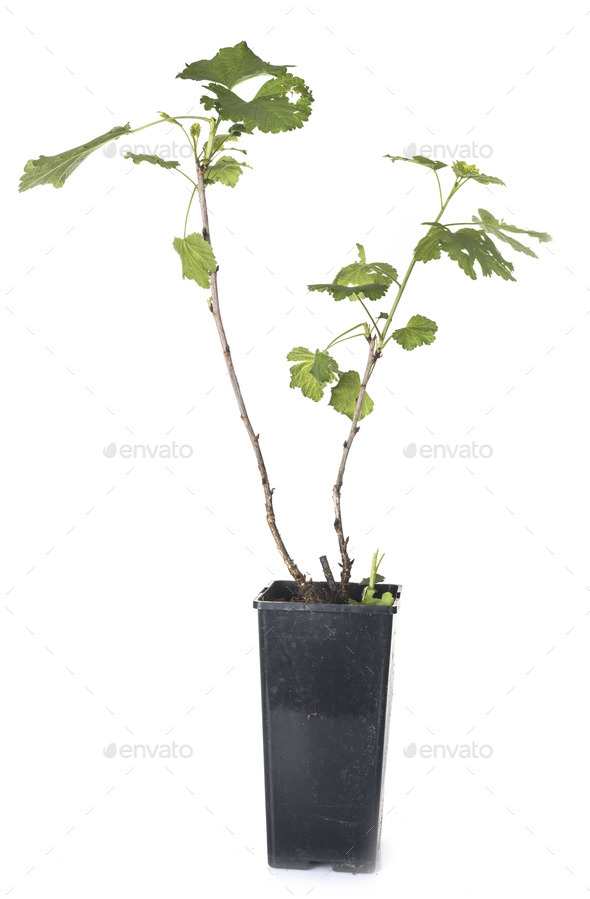 Blackcurrant plant in studio - Stock Photo - Images