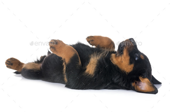 puppy rottweiler in studio - Stock Photo - Images