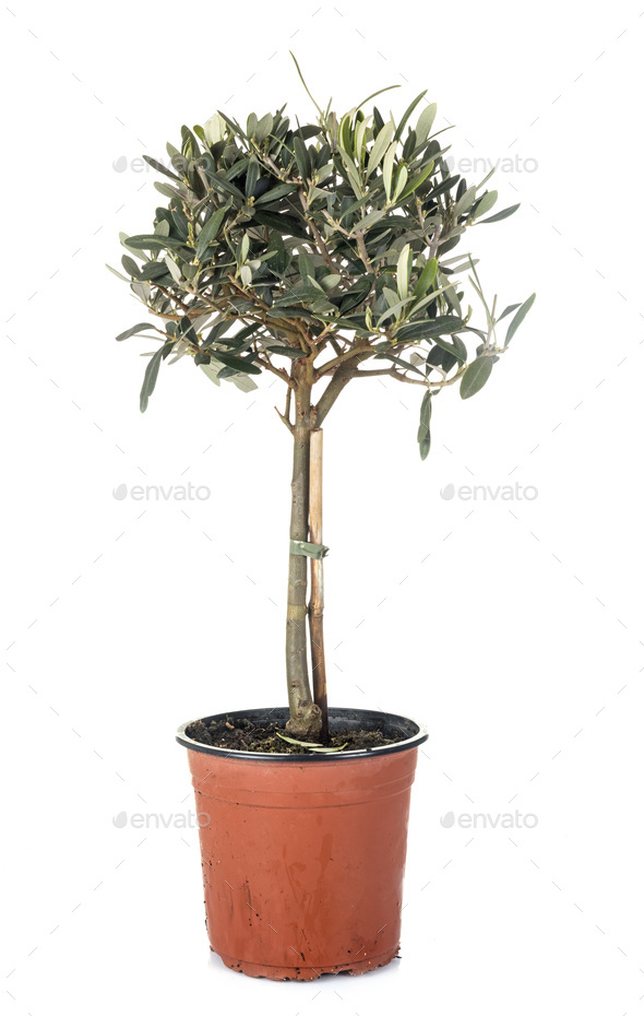 olive tree in pot - Stock Photo - Images