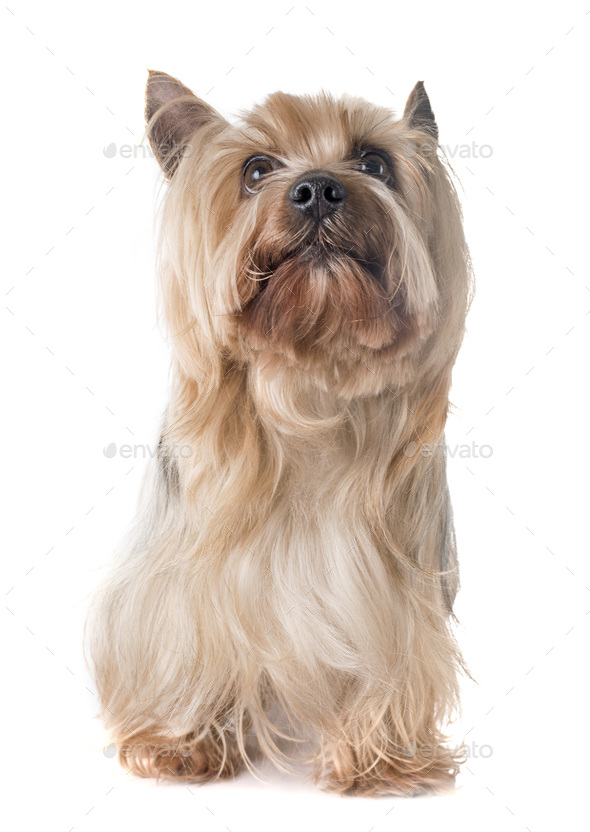 yorkshire terrier in studio - Stock Photo - Images