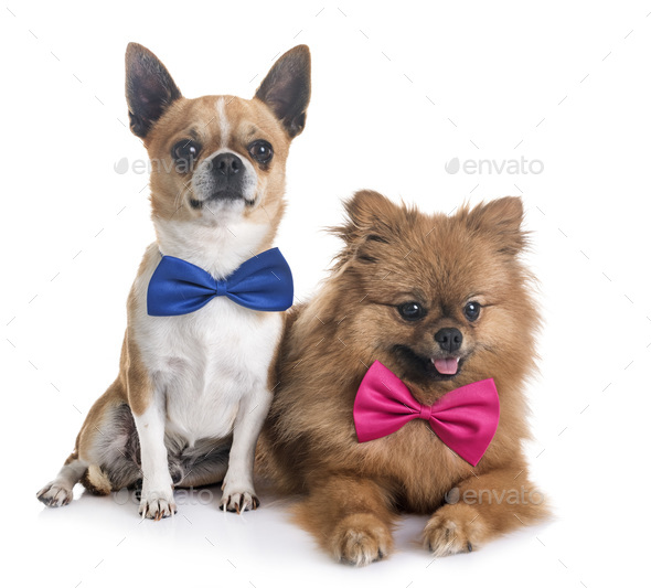 chihuahua and pomeranian - Stock Photo - Images