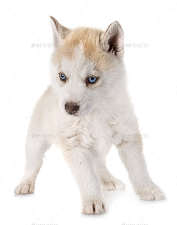 puppy siberian husky - Stock Photo - Images