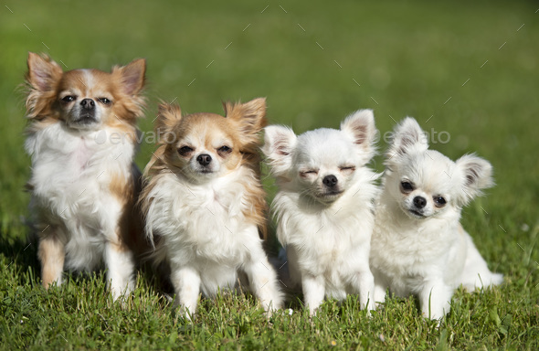 chihuahuas in nature - Stock Photo - Images