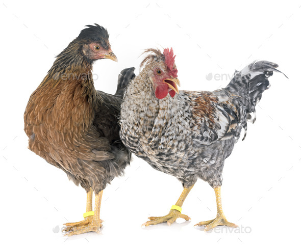 cream legbar chicken - Stock Photo - Images