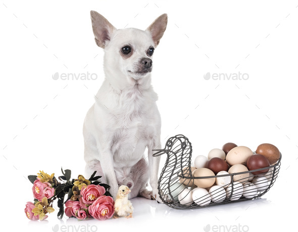 chihuahua , chick and eggs - Stock Photo - Images