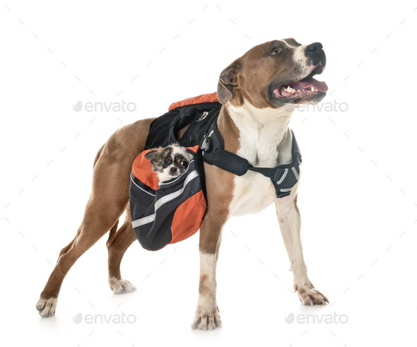american staffordshire terrier, chihuahua and bag - Stock Photo - Images