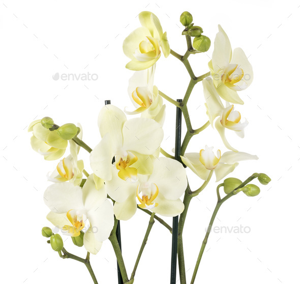 moth orchids in studio - Stock Photo - Images