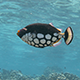 Clown Trigger Fish Poos as it Swims Over a Coral Reef - VideoHive Item for Sale