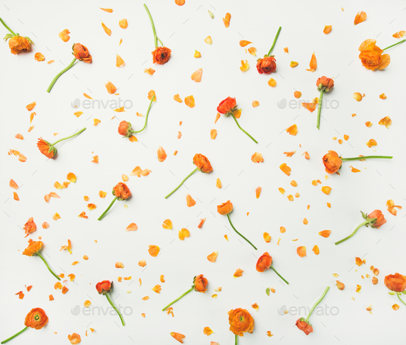 Flat-lay of orange buttercup flowers over white background, top view - Stock Photo - Images