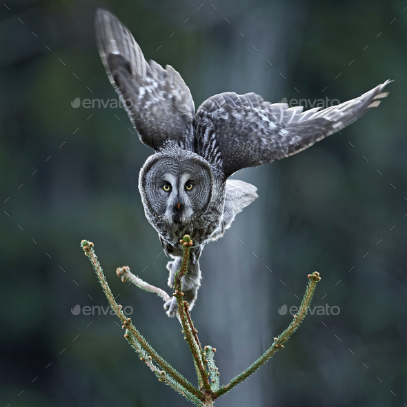 Great grey owl (Strix nebulosa) - Stock Photo - Images