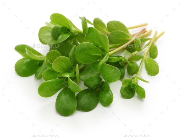 fresh purslane, edible weeds - Stock Photo - Images